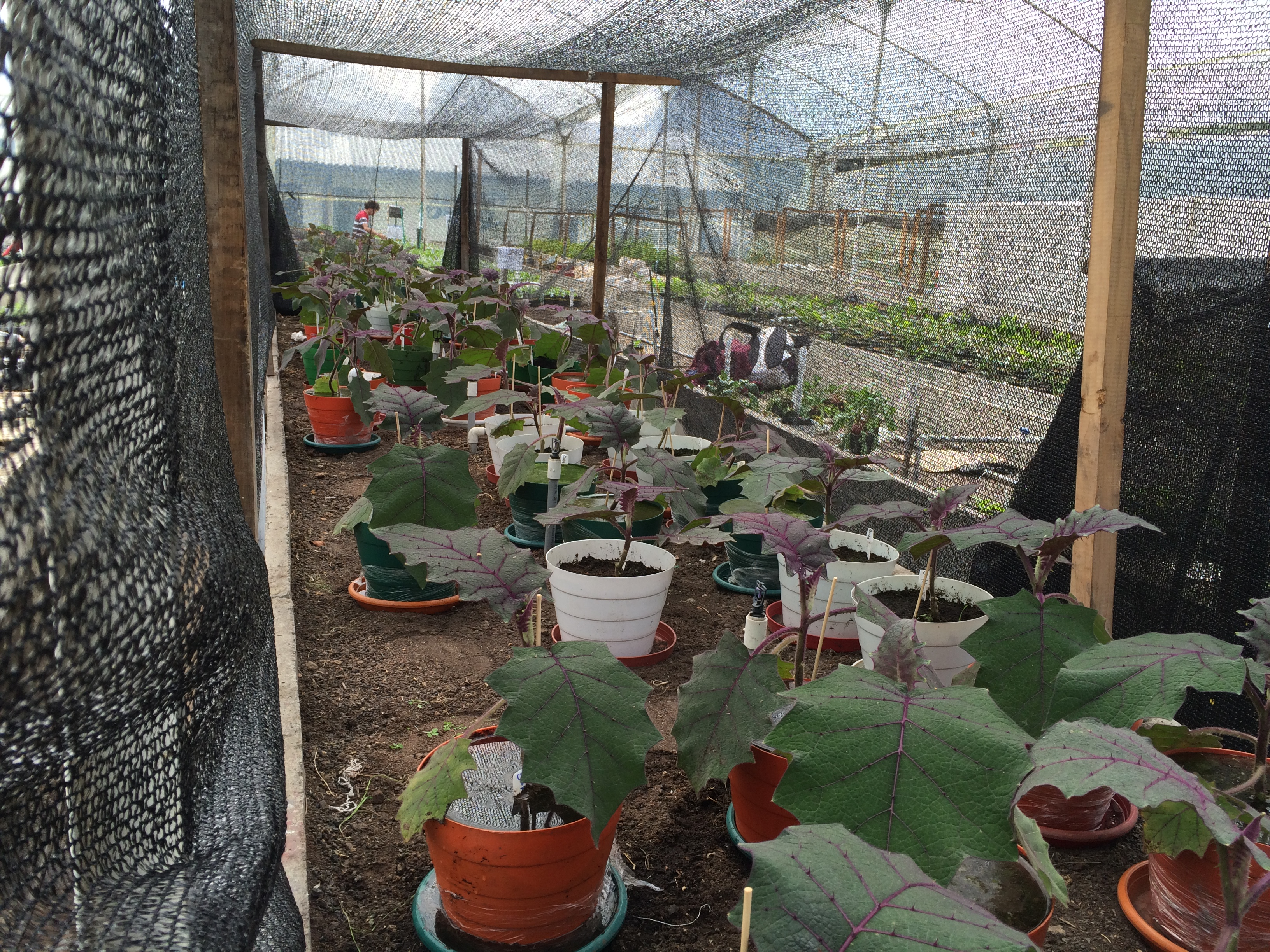 Experiment with lulo plants in greenhouse under shadow net. Photo: G. Fischer