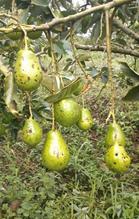 Symptom of the black spot by Pseudocercospora purpurea in avocado fruits variety Lorena, Fresno-Tolima. Photo: E. Rodríguez-Polanco