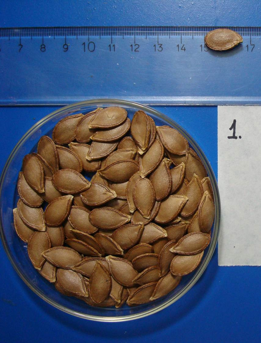 Brown seed, characteristic of the cultivar Unapal Abanico-75. Photo: M.P. Valdés-Restrepo