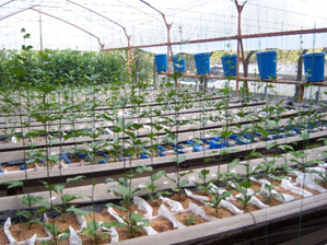 Promissory species of Passifloraceae in hydroponic conditions with water-salt stress. Photo: A. Hurtado-Salazar.