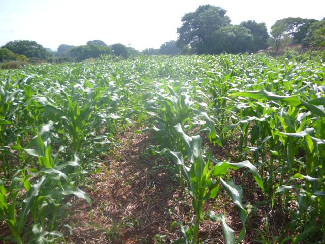 Experimental corn field. Photo: A.L. Giraldeli