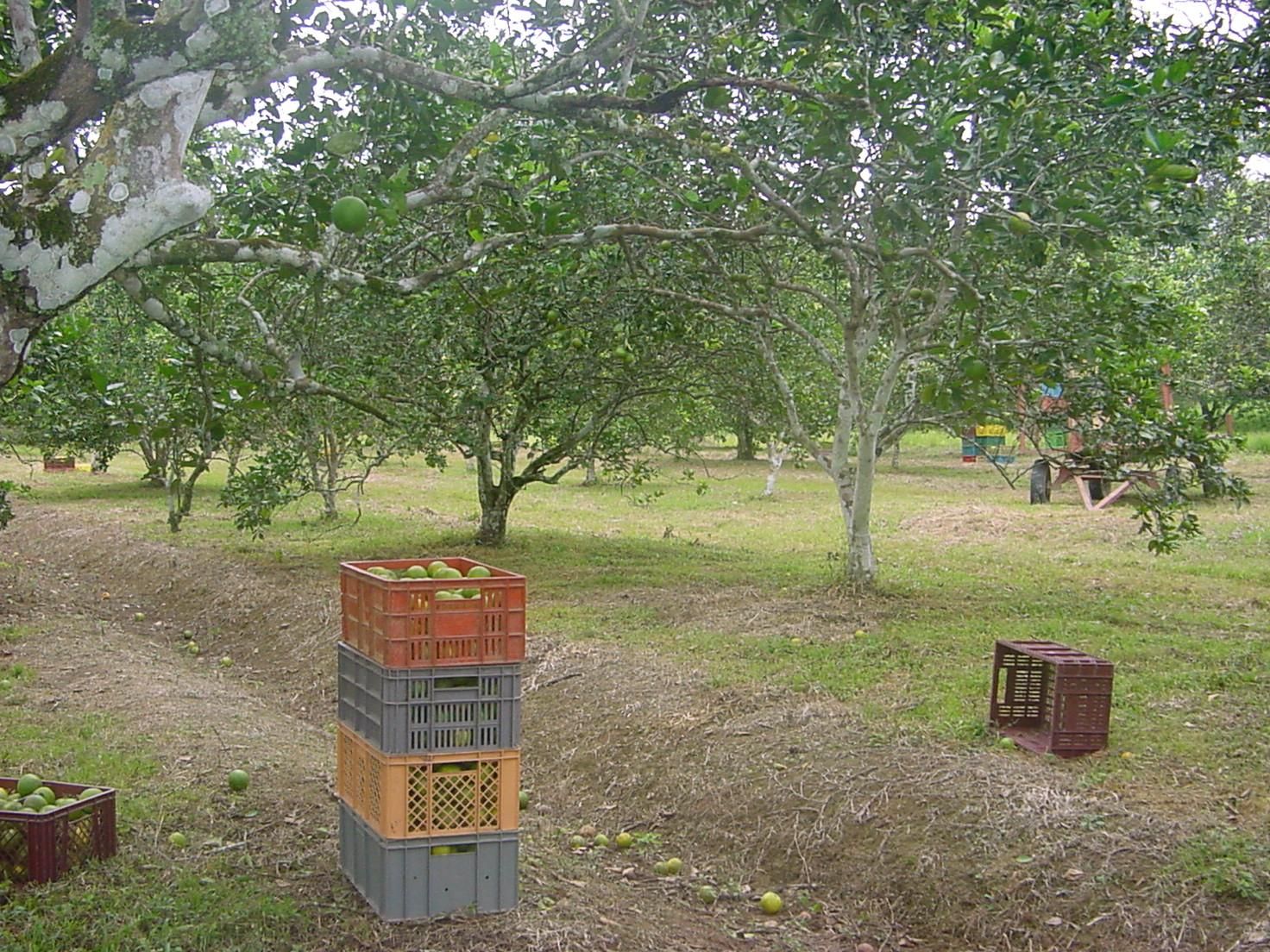 Valencia orange picking (Citrus Sinensis L. Osbeck) in Lejanias (Colombia). Photo: J.A. Cleves-Leguizamo