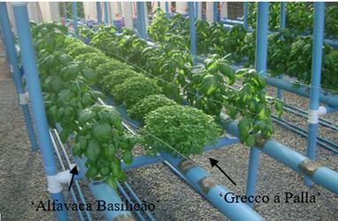 Basil plants grown under hydroponic conditions. Photo: L.S. Alves