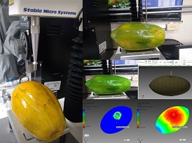 Firmness determination of papaya fruits and simulated with mechanical parameter models. Photo: G. Arrázola