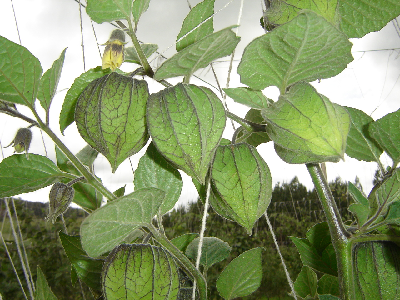 Cape gooseberry plant with flower buds, flowers and developing fruits in calyx.  Photo: G. Fischer