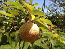 Fruit of pear (Pyrus communis L.) var. Triumph of Vienna.  Photo: J.E. Vélez