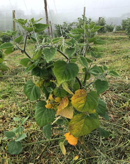 Physalis peruviana plant affected by Fusarium oxysporum f. sp. physali. Photo: S. Gómez-Caro