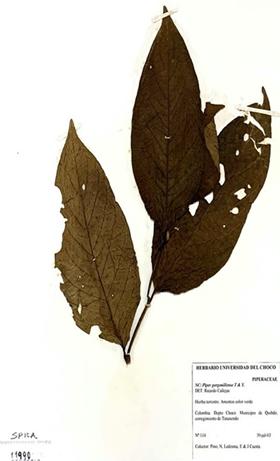 Piper gorgonillense Trel. & Yunck.  Source: Herbarium of Universidad Tecnológica del Choco Diego Luis Córdoba (No. 11990) herbarium of the Universidad de Antioquia (No-493853)