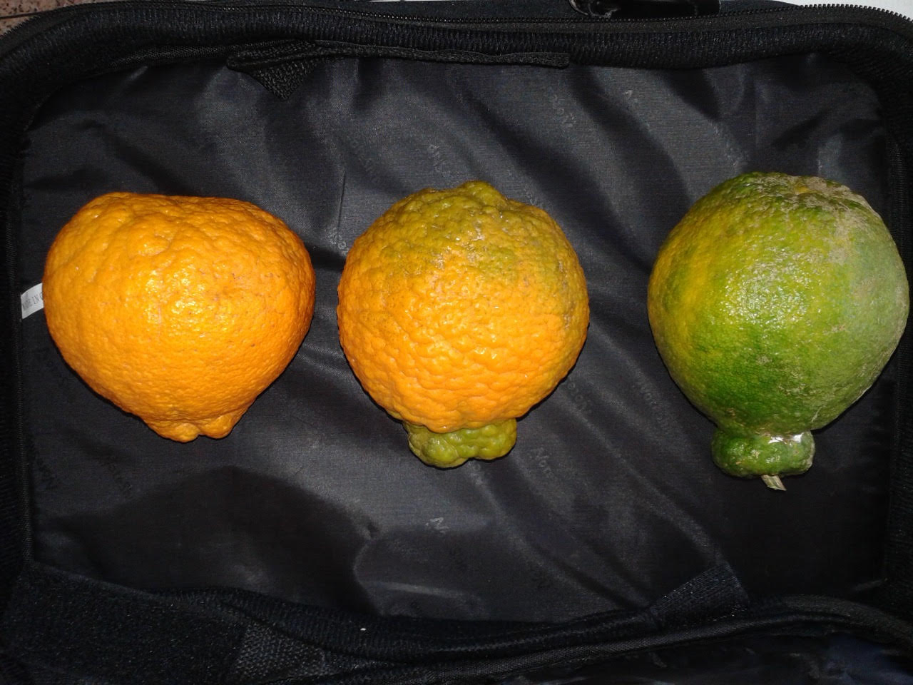 'Dekopon' fruits in three ripening stages Photo: Siqueira, A.P.S.
