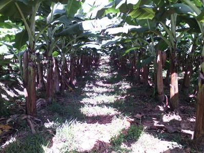 High density plantations of banana. Photo: Omar Nanclares