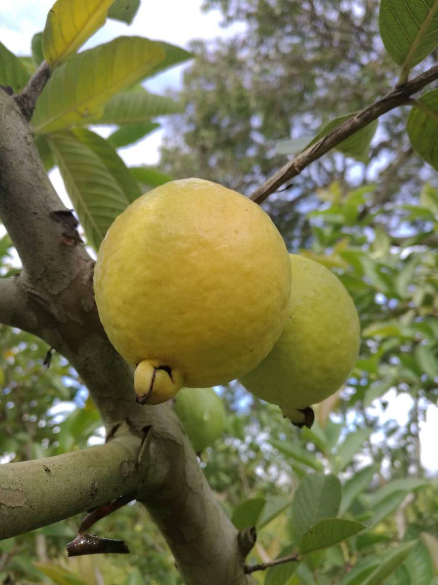 P. guajava L. cv 'Regional Roja' fruit. Photo: V.C. Pulido-Blanco
