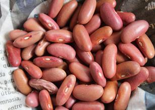 Seed pink of Zaragoza bean Photo: Agrosavia
