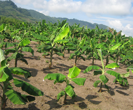 First symptoms of the effect of growth regulators on plantain. Photo: J.S. Arias-García