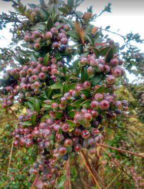 """Andean blueberry: """"The coffee of the poorest"""" or """"The coffee of the cold lands"""".  Photo: S. Quevedo-Rubiano"""
