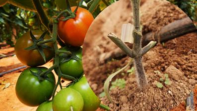 Tomato grafted plant. Photo: O.J. Córdoba-Gaona