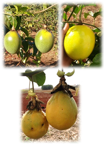 Fruits from a genotype of yellow passion fruit (left), the commercial cultivar of yellow passion fruit 'FB 200' (right), and a genotype of sweet passion fruit (down).  Photos: F.R. Gomes