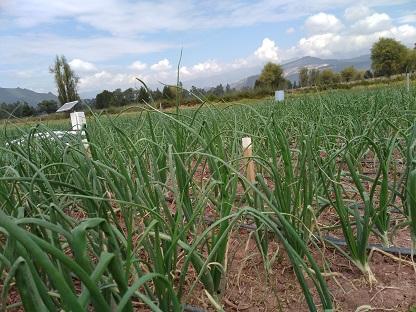 Bulb onion crop of Usochicamoscha Irrigation District Fhoto: K.V. Suárez-Parra