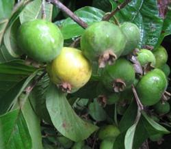 Fruits of Campomanesia lineatifolia. Photo: H.E. Balaguera-López