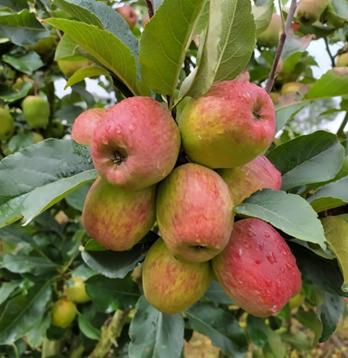 Ripe apples var. Anna. Photo: L.M. Sánchez