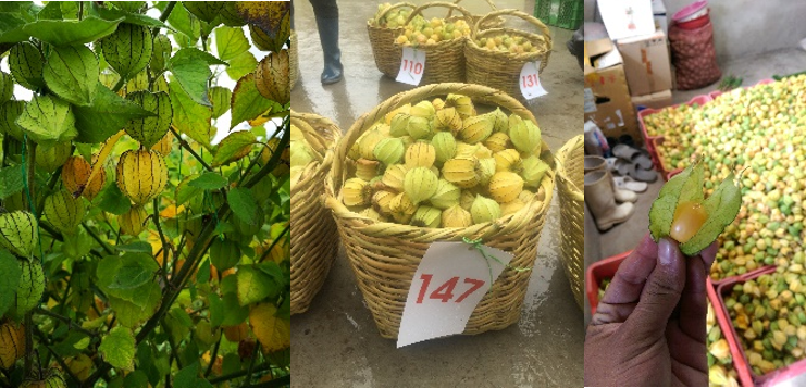 Cape gooseberry hybrid fruits. Photos: D.E. Duarte-Alvarado