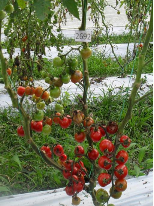 Cherry tomato LA2692, native to Peru.  Photo: N. Ceballos-Aguirre
