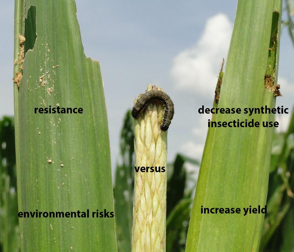 Bt maize and Spodopera frugiperda. Photo: I. Zenner-de-Polanía
