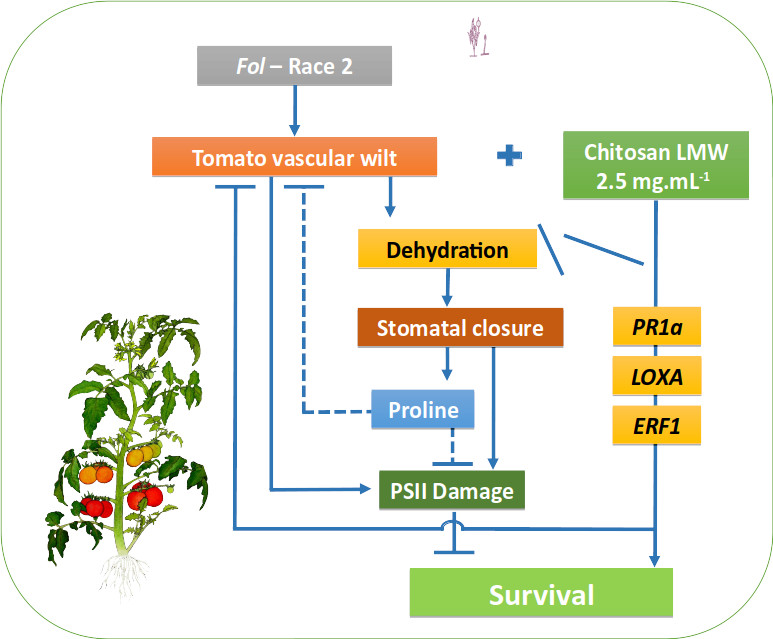 Model that describes the induction of resistance by chitosan in the tomato-Fol pathosystem.  Source: elaborated by the authors