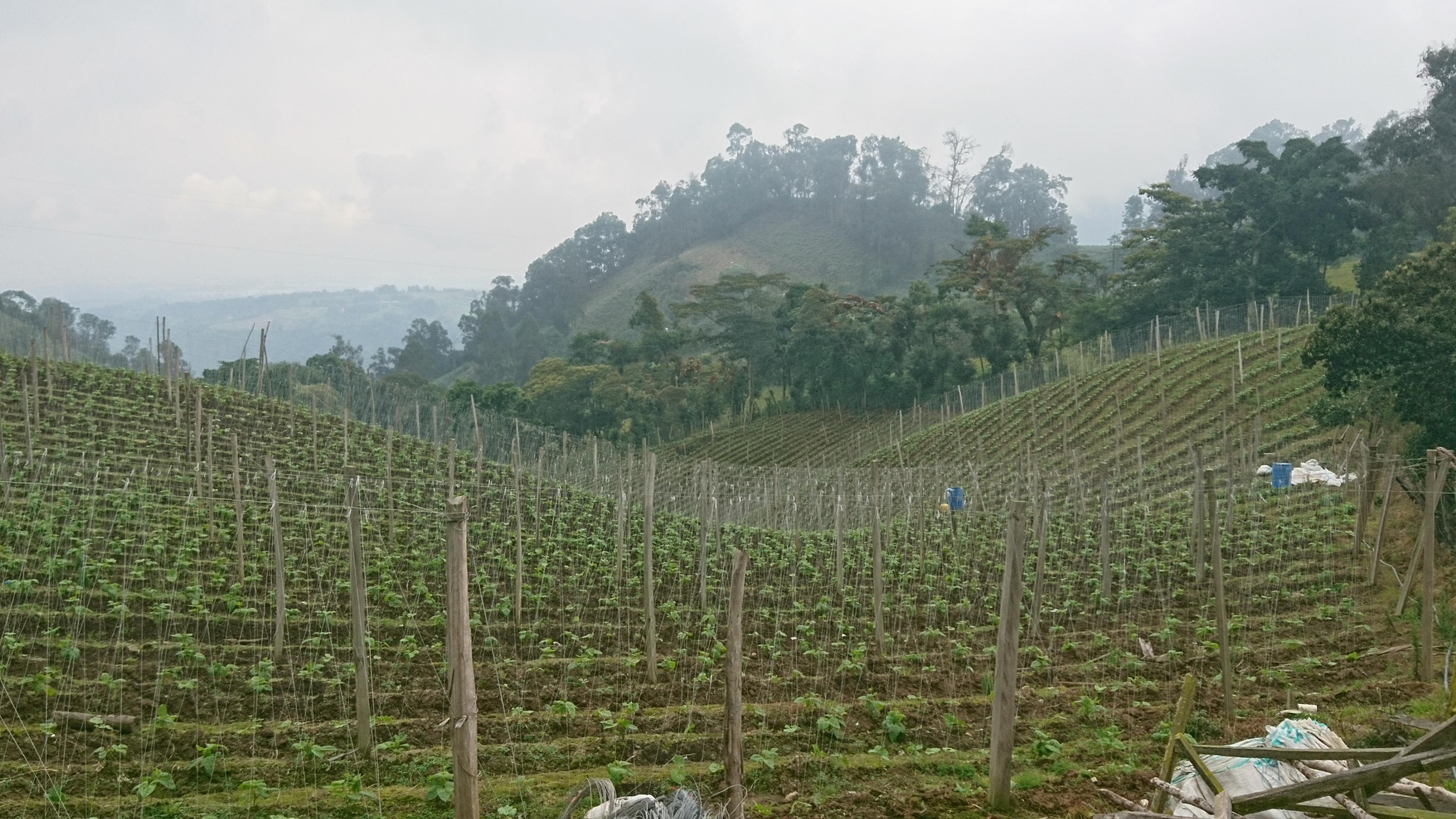 Pea crop in Fusagasuga (Colombia). Photo: D.A. Gómez-Latorre