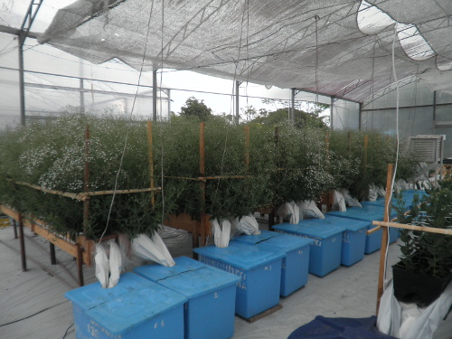 Gypsophila production in gutters with leaching recirculation