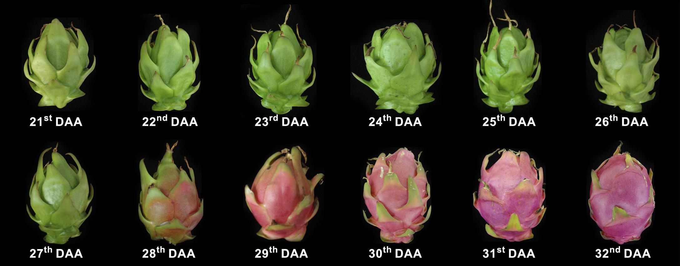 Physiological maturity of pitaya fruits Photo: T.A. Ortiz