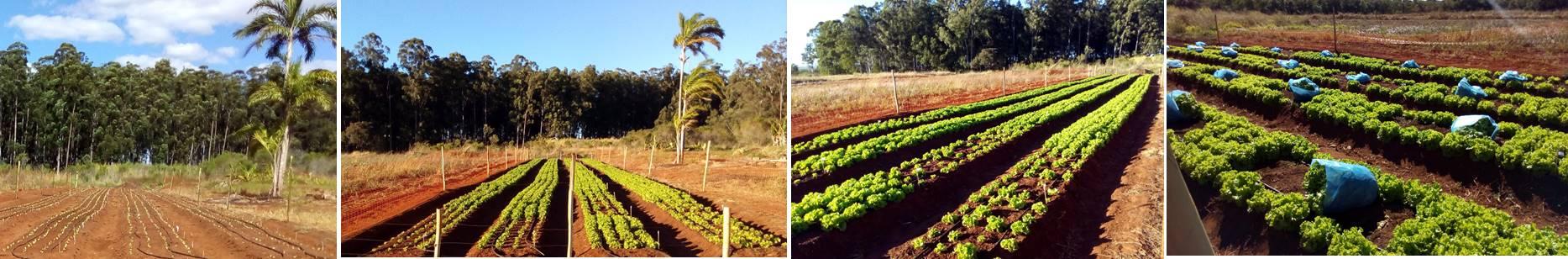 Experiment lettuce plant growth. Photo: J.L.R. Torres