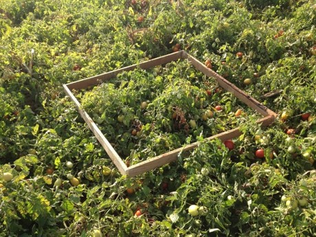 Tomato cultivation for industrial processing. Photo: N.C. Ferreira