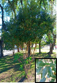 Eugenia uniflora (detail: leaves) Photo: R.R. Cipriano