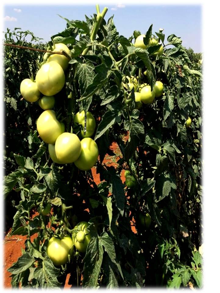 Tomato plant of experiment. Photo: I.S. Pereira