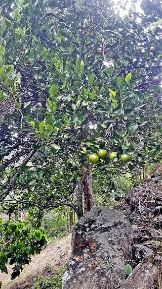 Árbol de Citrus reticulata Blanco. Photo: M.J. Toloza and I. Sánchez