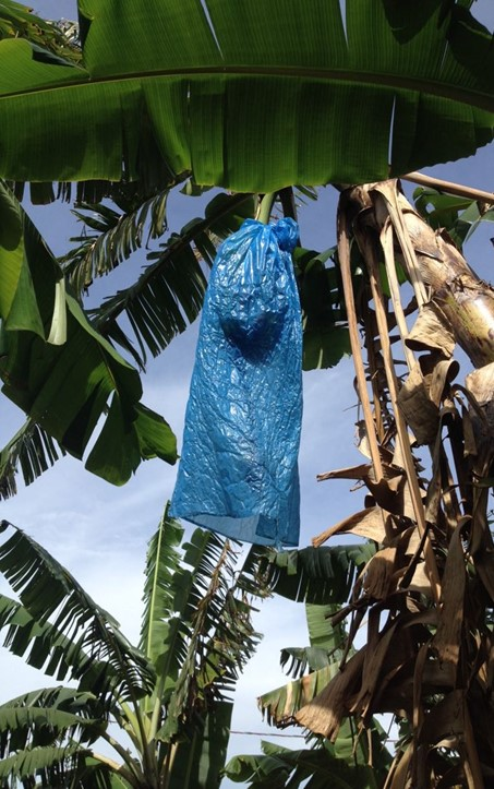 'BRS Conquista' banana bunch bagged with blue polyethylene. Photo: R.C. Martins