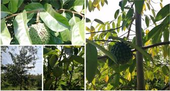 Annonaceae fruit species.  Photos: A.-I. Giraldo-Rivera
