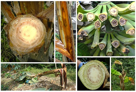 Symptoms of bacteriosis and moko of plantain in the department of Cundinamarca (Colombia). Photo: L.G. Bautista-Montealegre, S.D. García-Guzmán and M.M. Bolaños-Benavides