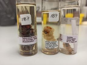 """Screwworm specimens in the CTNI """"Luis María Murillo"""". Photo: E.V. Vergara"""