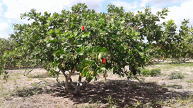 Pacajus cashew clone (CCP 76). Photo: F.C. Vidal Neto