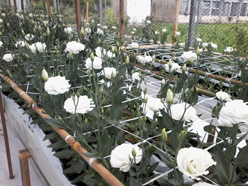 Lisianthus production in substrate and recirculation of the nutrient solution. Photo: D. Höhn