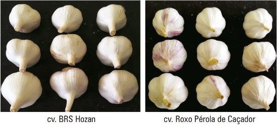 Cultivares de alho produzido em Portalegre, RN, Brasil. Fotos: W.A.R. Lopes