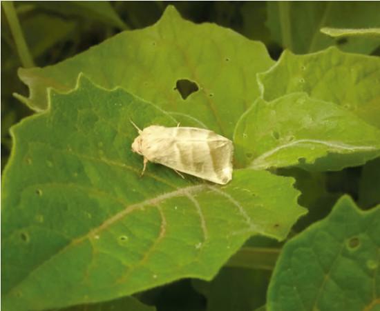Chloridea (Heliothis) subflexa  Photo: A.P.C. de Melo