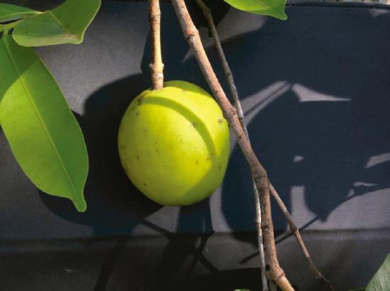 Fruit of Harconia speciosa. Photo: A.P. Silva Siqueira
