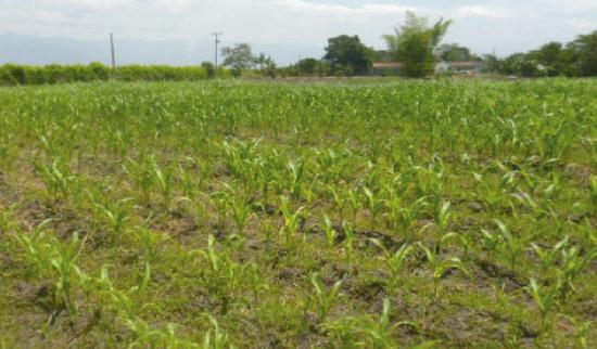 Cultivo de maíz dulce. Foto: C. Martínez-Herrera