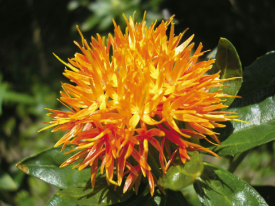 Safflower inflorescence. Photo: E. Seabra