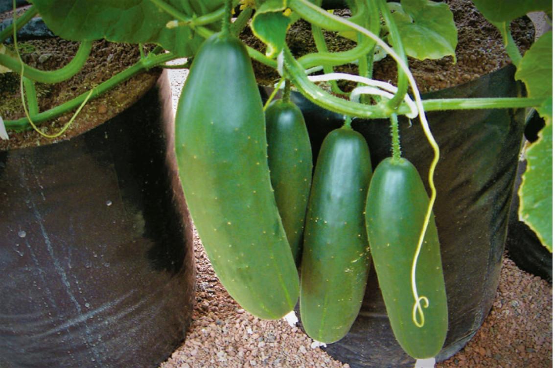 Frutos de pepino variedad Saber. Foto: F.V. Barraza
