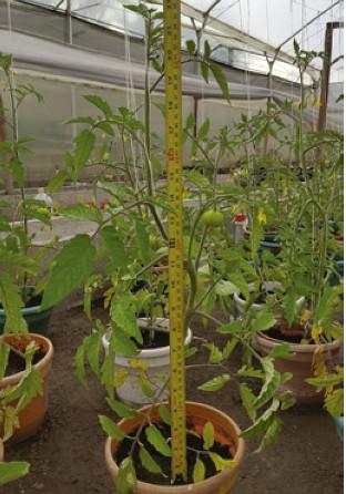 Plantas de tomate chonto sometidas a diferentes concentraciones de NaCl. Foto: T.M. Saldaña