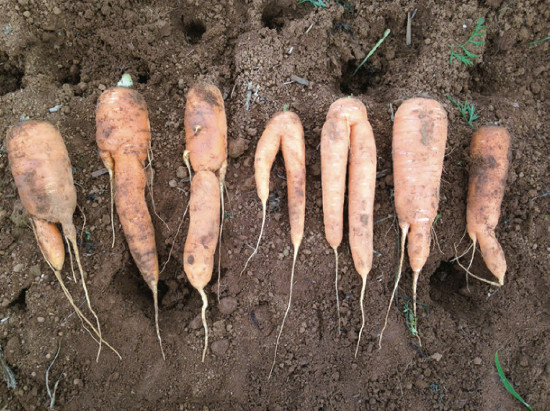 Forked carrots by herbicide intoxication. Photo: G. Soares da Silva