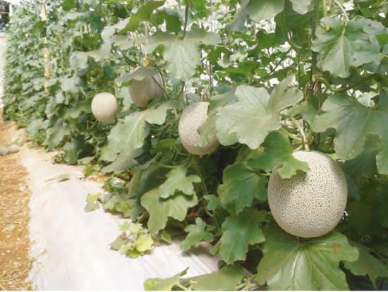 Cultivo de melão rendilhado. Foto: E.P. Vendruscolo